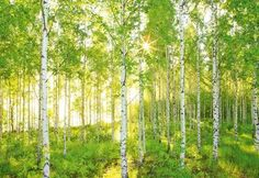 Birch Forest, Tree Forest, Wallpaper Roll, Wall Wallpaper, Modern Wallpaper, Wallpaper Paste, Photo Wallpaper, Disney Wallpaper, Hirsch Wallpaper
