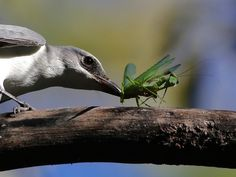 A cuckooshrike (Coracina papuensis) catches a mantis in Australia's Elsey National Park. ©John Hutchison