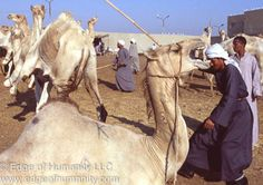 Please click the links below to see full Birqash Camel Market documentary photo essay. Egypt's Birqash Camel Market – The Faces Birqash Camel Market – The Handlers Moving and Securing A Camel – Bir...