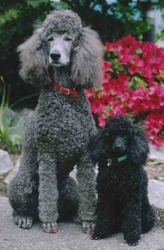 big and little, grey and black ... these poodles don't perceive any difference, I'm sure!