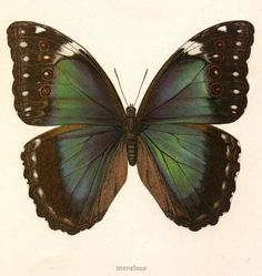 love these colors, old butterfly botanical print - vintageprintable.com
