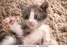 Little cute cat lying on the back on carpet, close-up #shutterstock #photography #microstock #cat