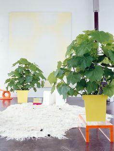 Sparmannia ~ Indoor Lime ~ Zimmerlinde