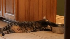 Funny Gifs Decadent kitty is decadent ...