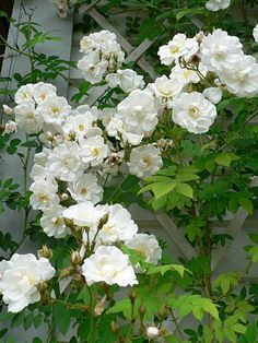 'Polstjärnan' or Polestar (Modern Climber) - rambler that produces clusters of snow white double blooms that are fragrant; vigorous plant that blooms in spring; very hardy; 15'x6'; Z2; from Finland.