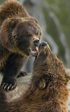Bear Argument!