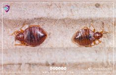 #eggs #bedbugs - amazing steps in eliminating eggs and bed bugs forever #البق #بق الفراش #بيض-البق #السعودية #جدة #مكافحة #حشرات #bedbugs #jeddah Signs Of Bed Bugs, Bed Bug Control, Mosquito Control, House Bugs, Cockroach Control, Rid Of Bed Bugs, Bed Bugs Treatment, Bed Bug Bites, Pest Control Services