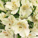 Ivory White Peruvian Lilies