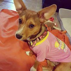 """Rainbows make me smile!"" :) #twomoms #gay #lgbt #rainbows #puppy #puppysofig #cortland #corgi #jackrussell #bigears #pink #prettyinpink #dogshirt #koalacore by crystallinaballerina #lacyandpaws"