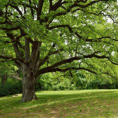 Acquire a touch of elegance to your outdoor space with the addition of this excellent national PLANT NETWORK Deciduous Live Oak Tree. Once Upon A Tome, Turf Builder, Live Oak Trees, Photo Libre, How To Attract Birds, Shade Trees, Farms Living, Organic Herbs, Types Of Soil