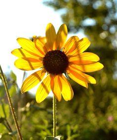 Beautiful sunflower at Hogle Zoo