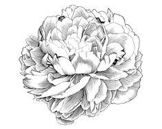 Изображение со страницы http://fc06.deviantart.net/fs70/i/2010/076/9/6/Peony_Engraving_Illustration_by_jrb0280.jpg.