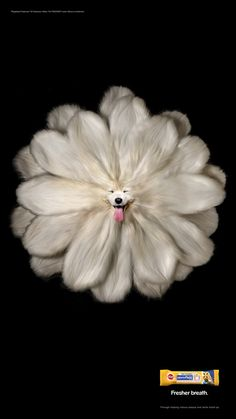 pedigree-dentaflex-chow-chow-blossom-old-english-sheeprose-white-samoyed-gerbera-print-385677-adeevee.jpg (1080×1920)