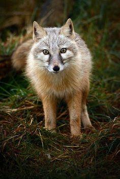 Corsac Fox by Brett Terry**