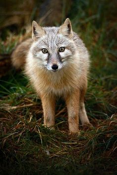 Corsac Fox by Brett Terry**