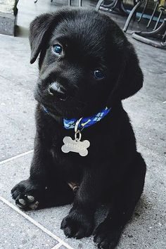 Black Lab puppy - definitely need a red collar #puppies