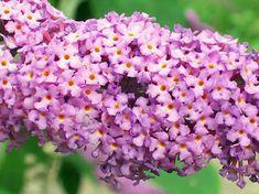 alba Rehder & E.Wilson, B. superba Rehder & E.Wilson, B. Buddleja Davidii, Butterfly Bush, Dream Decor, Boho Decor, Garden Design, Succulents, Flowers, Plants, Gardening
