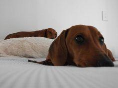 Teckels #dogs #puppies #cute animals #dachshund