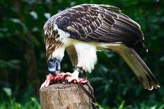 philippine eagle - Google Search