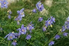 Aquilegia bernardii Akileijat ovat leinikkikasveja Ranunculaceae