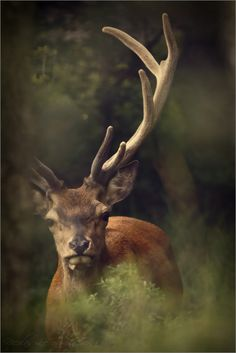 "deer    (via 500px / Photo ""En velours"" by Nicolas Le Boulanger)"