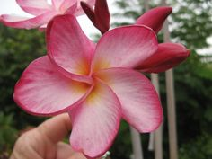 """The plumeria """"Thai Rimfire"""".  Heat brings out the vibrant veining and the reddish-pink.  A tall grower and good brancher that would make an excellent specimen planting.  SeaSidePlumeria@cfl.rr.com"""