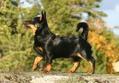 Lancashire Heeler - 30 Rare and Exotic Dog Breeds You've Never Heard Of And Need To Know About Immediately