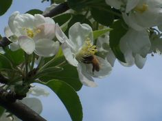 One of our Honey Bees getting pollen from one of the flowering Crabapple Trees in the springtime...sweet spring...