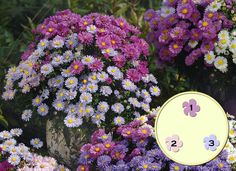 """Create your own Asterational Container Garden for fall. This is perfect for full and part sun spaces. All you need are three plants: Aster Autumn Jewels """"Purple Diamond"""", Aster Autumn Jewels """"Rose Quartz"""", Aster Autumn Jewels """"Aqua Compact"""". Learn more at http://www.skh.com."""