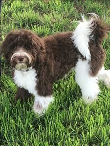 Australian Labradoodle Puppies For Sale Breeder In Spokane