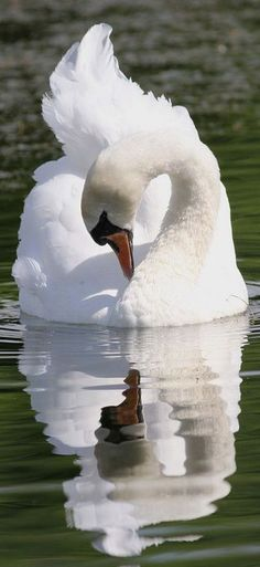 Swan. ♡*Thank You For Following Me!*♡ No pin limits for followers. My pins are your pins. Feel free to repin whatever you want and as much as you want. Please visit often and pin freely anytime.❤️ GOD BLESS YOU! Please Visit me at → https://www.pinterest.com/imjollyollie/