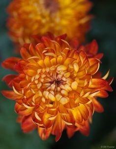november chrysanthemum -