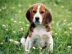 A cute little beagle that reminds me of my Lucy!