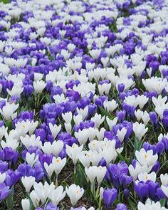 Crocus Blue & White Mix - Crocus Flower Bulbs