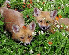 Fox Kits by © Herbert Fields