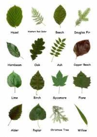 Tree leaf identification.