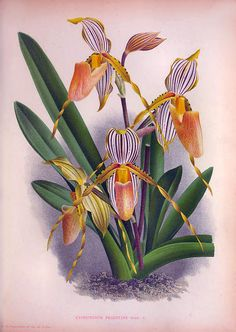 Orchid Painting - Vintage Orchids No.6 Lindenia Collection Of 1887 by Joy of Life Art Gallery