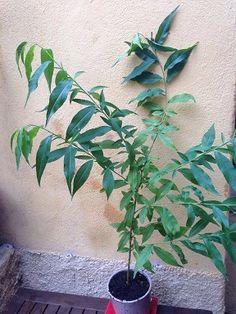Apprenez faire germer p pins et noyau de fruits pour les - Comment faire pousser un noyau d avocat ...