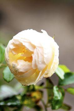 Shepherdess rose