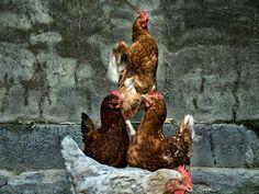 #chickens #photography #myphotos #fotografía #original #nature #art