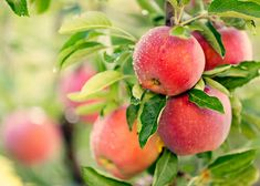 There are many health benefits of apple cider vinegar. Learn more about how raw apple cider vinegar can help you! Planting Fruit Trees, Fruit Plants, Apple Health Benefits, Apple Cider Benefits, Apple Fruit, Red Apple, High Potassium Foods, Apple Picture, Vegetables Photography
