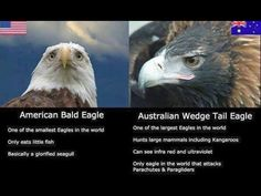American Bald Eagle VS Australian Wedge Tail Eagle See more Funny pictures Be sure to share this post with your friends on social media before you Australian Memes, Aussie Memes, Aussie Tumblr, Australian Tumblr, Dc Memes, Funny Memes, Hilarious, Funny Videos, Animal Memes