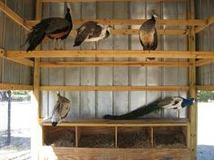 The United Peafowl Association - www.peafowl.org :: View topic - Height for nest boxes