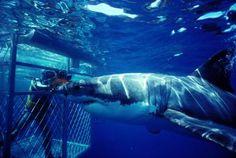 Aventura extrema: bucea con el gran tiburón blanco en Isla Guadalupe