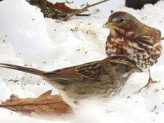 How Low Can You Go? Try Ground Bird Feeders!: Many types of sparrows are ground-feeders. Ground Bird Feeder, Diy Bird Feeder, Types Of Sparrows, Bird Suet, How To Attract Birds, Game Birds, Backyard Birds, Small Birds, Quail
