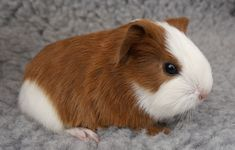 Guinea Pig Breeds Information and care on the types of guinea pig breeds around the world. #typesofguineapigbreeds #TheCoronetGuineaPig