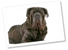 Neapolitan Mastiffs are loyal watchdogs that are loving, calm and quiet, making them wonderful family pets. This large breed enjoys the outdoors but does not fare well in hotter climates.