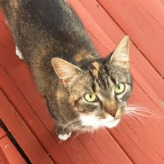 Kathleen Johndrow‎Lost & Found Cats of Connecticut 3 hrs · Edited ·     West Hartford, near S. Quaker and Edgemere: This sweet cat has been hanging around/under my deck since last night. Have posted elsewhere but no responses. White markings on chest, front toes, and back legs. Seems well taken care of.