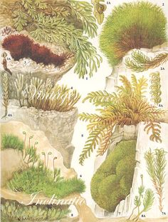 Vintage Antique MOSS illustration book page by VintageInclination, $5.99