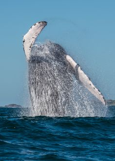 (Sayulita, Puerto Vallarta, Jalisco, Mexico) Humpback whale - so excited to see my favorite animal! Puerto Vallarta, Riviera Nayarit, Humpback Whale, Whale Watching, Sea World, Mind Blown, The Good Place, Places To Go, Nature